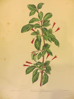 Astragalus Laxmannil #66